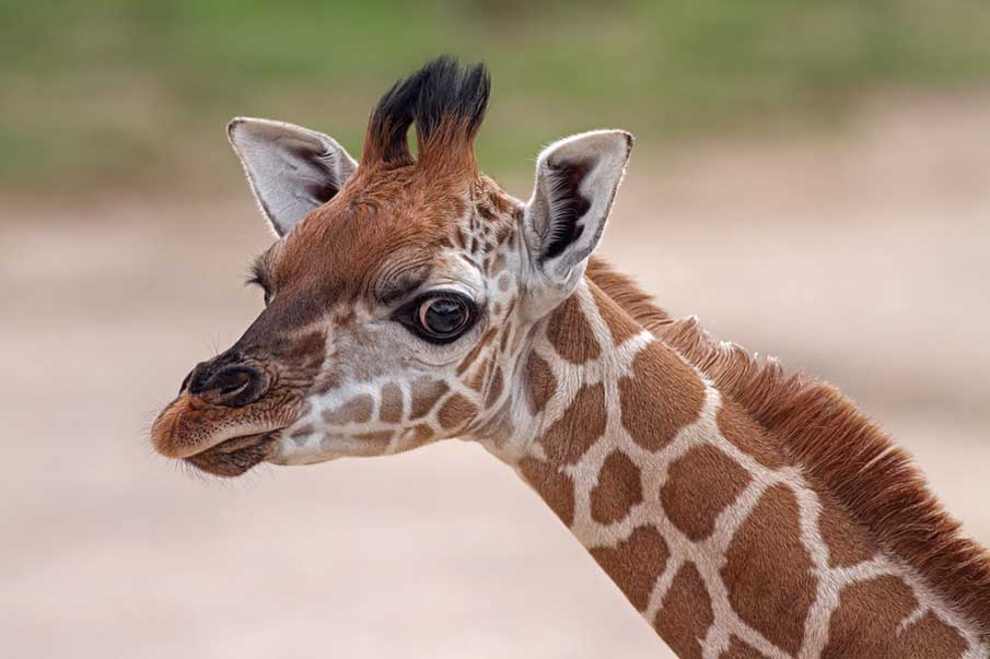 Cute Giraffe