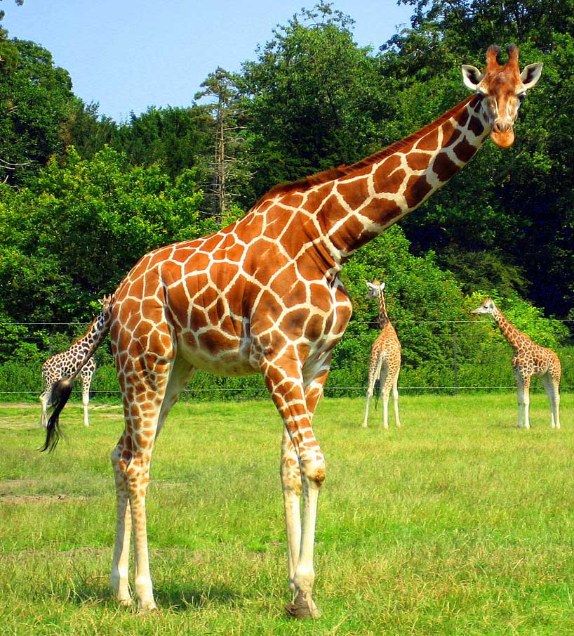 Giraffe 1