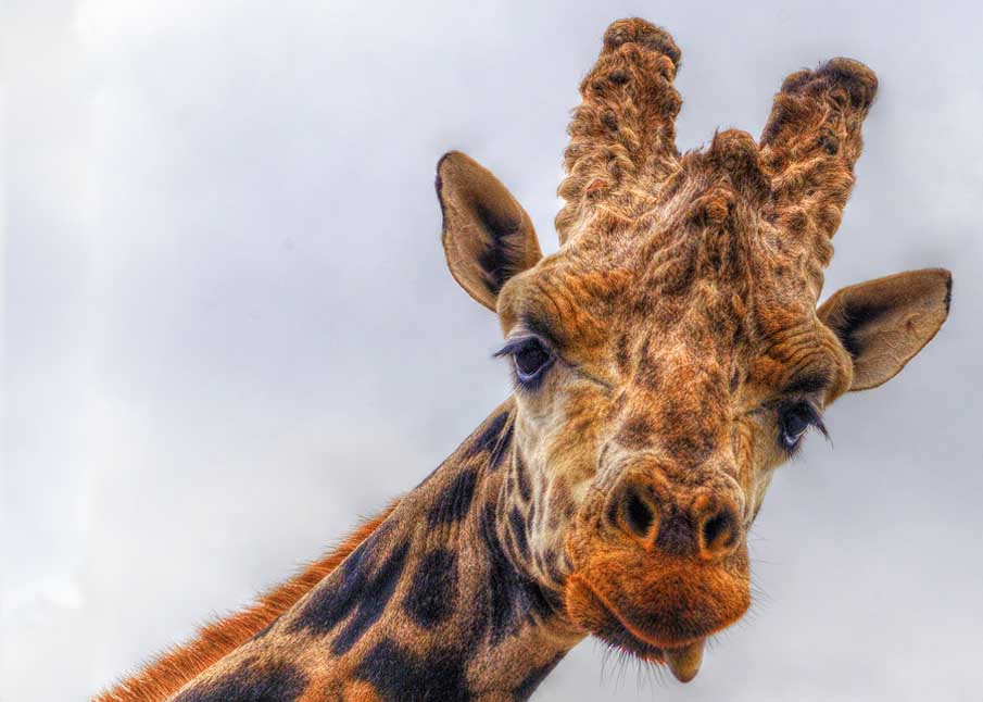 Jasper the Giraffe