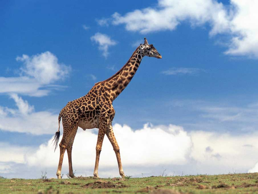 Giraffe 4