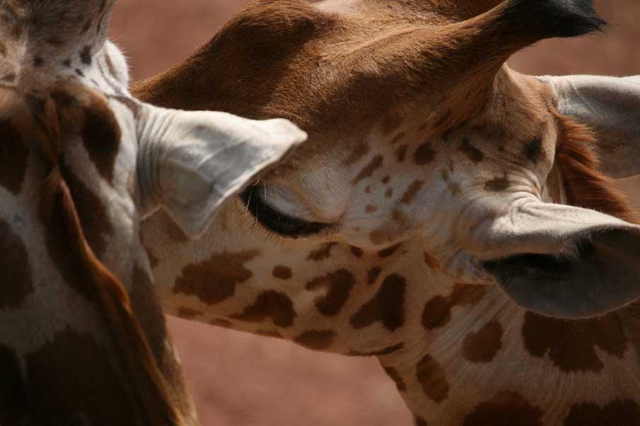 Giraffes in Love Drawing Giraffe Love