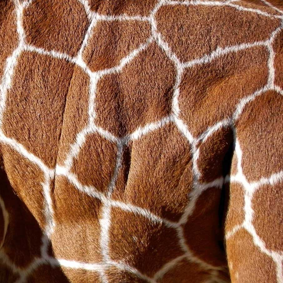 Fluffy Fur of Giraffe