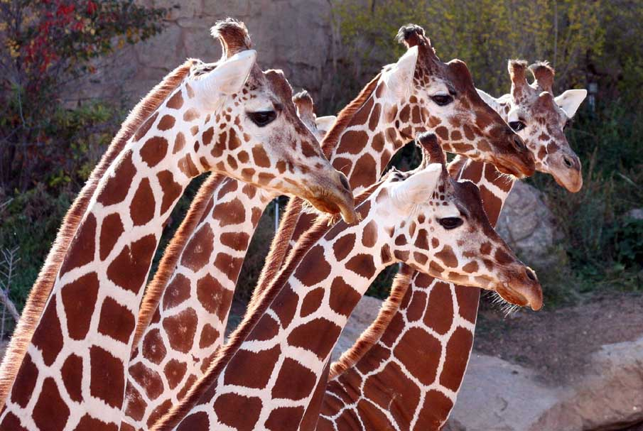 Giraffe Girls