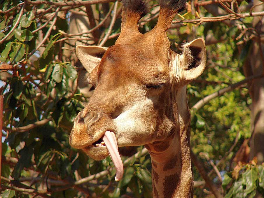 Giraffe 9