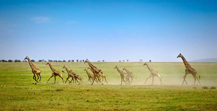 Running Giraffes on the Open Serengeti