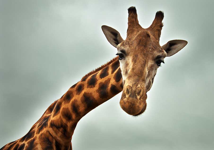 Sympathetic Giraffe