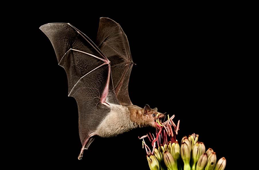 Mexican Long-Tongued Bat Feeding