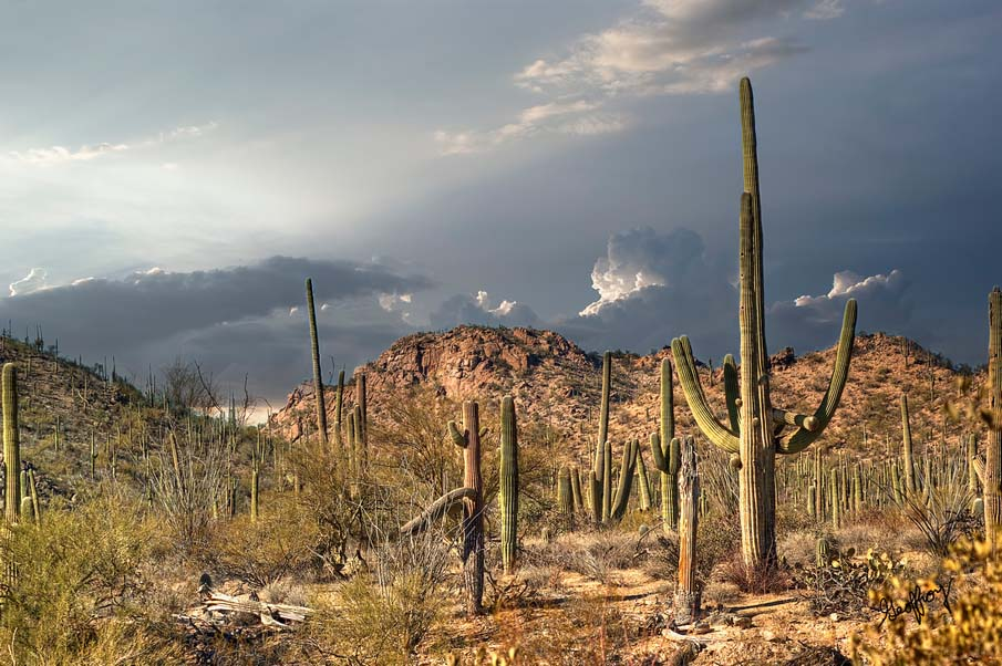 Saguaro Heaven