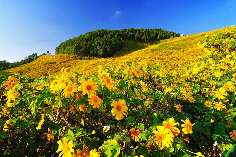 Mexican Sunflower Weed Field