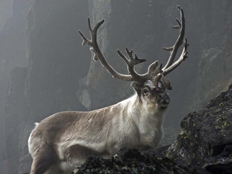 Reindeer in the Mist