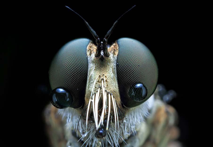 Robberfly Tears
