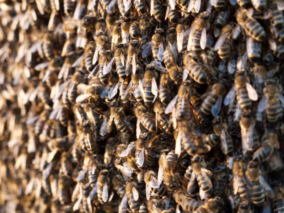 Army of Bees