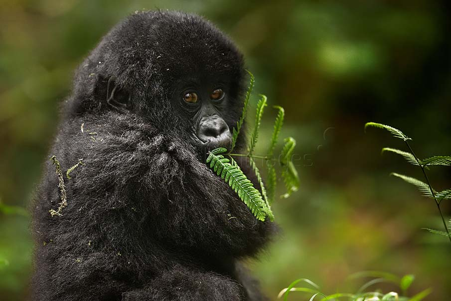 Baby Mountain Gorilla Feeding