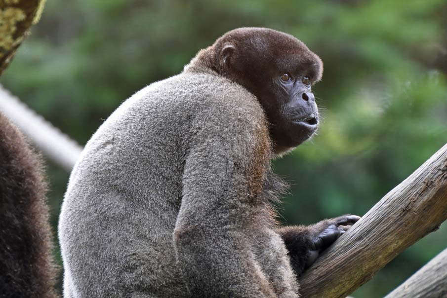 Brown Woolly Monkey