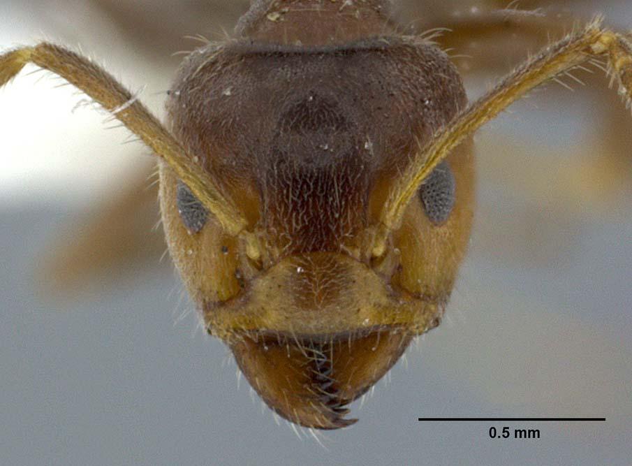 Azteca Ant
