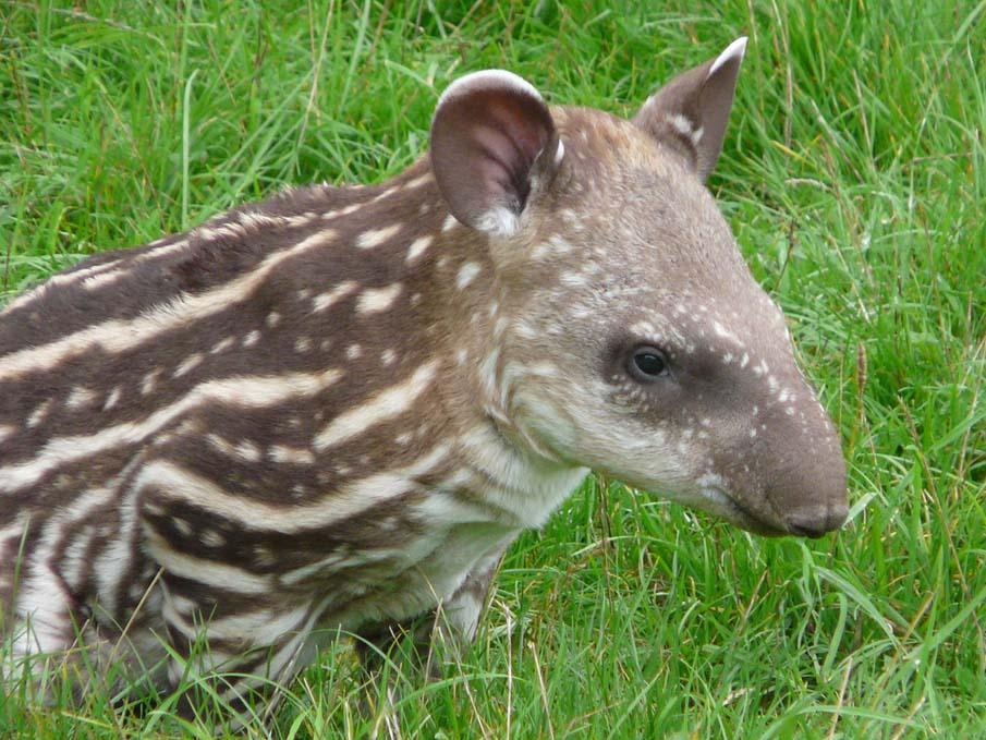 Baby Brazilian Tapir