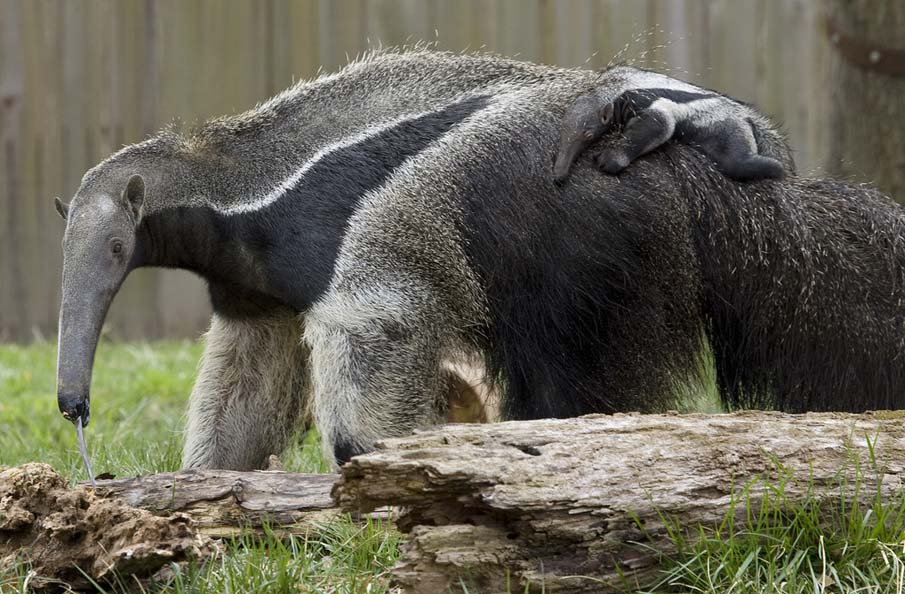 Giant Anteater Pup