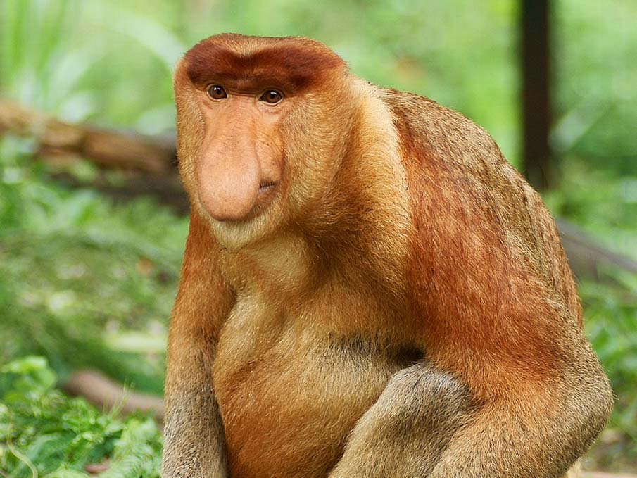 Long Nosed Monkey