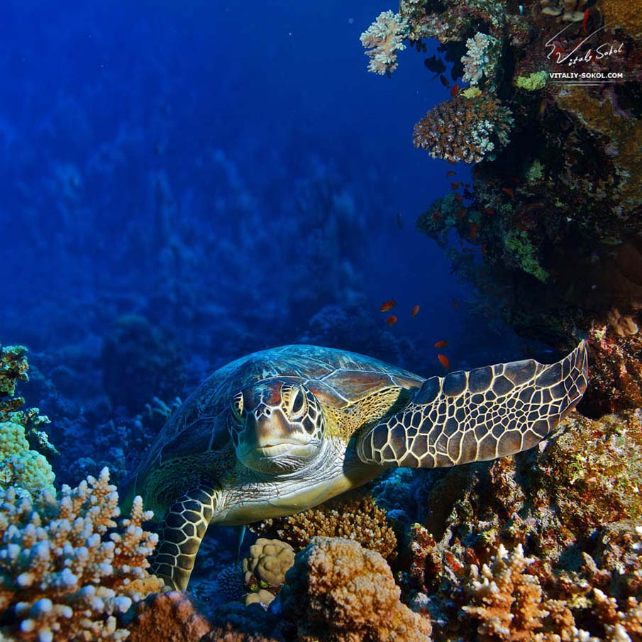 Sea Turtle Sitting Between Coral