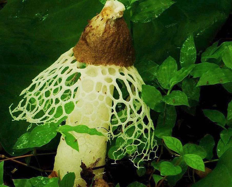 Crinoline Mushroom