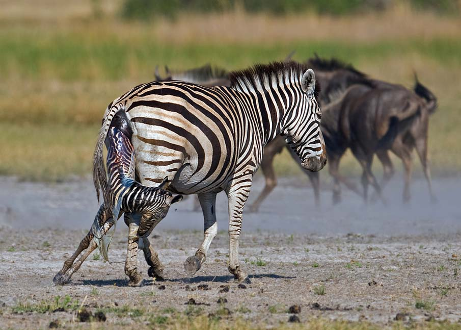 Zebra Birth
