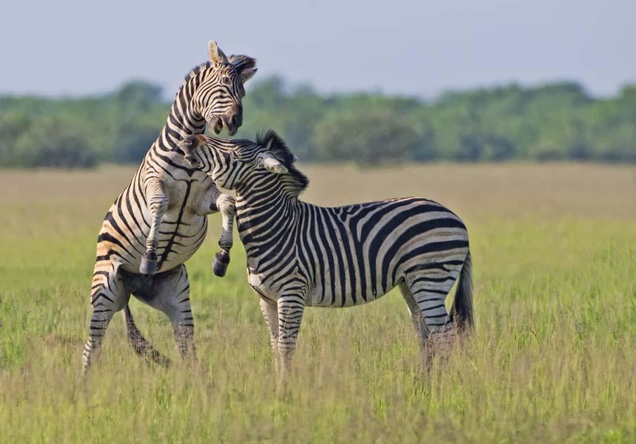 Zebra Play