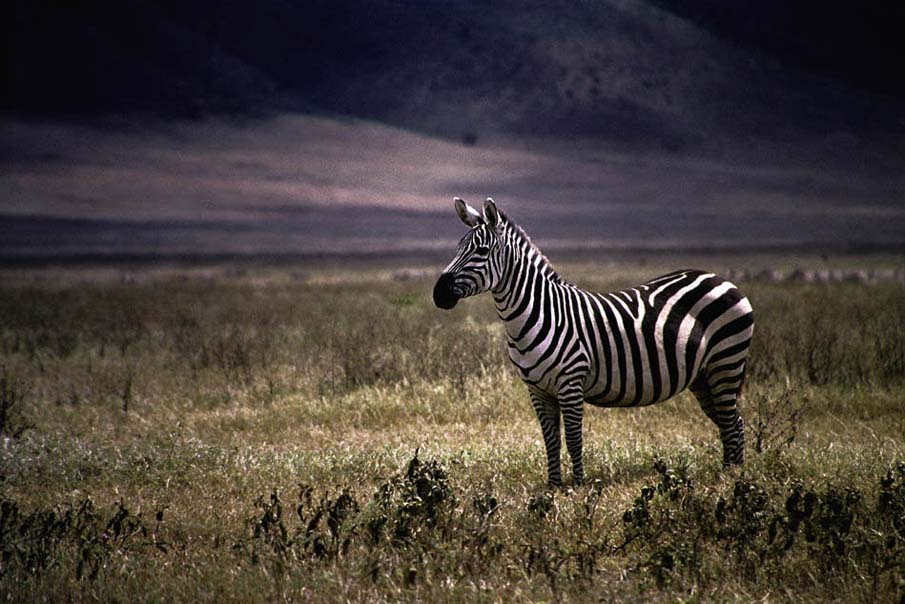 The Proud Zebra