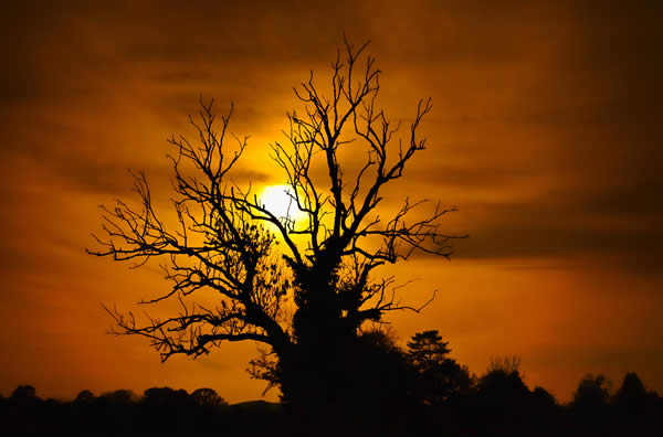 Ash Tree Silhouette - Hanley Swan - UK