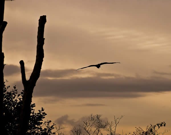 Soaring Eagle Silhouette at Dusk