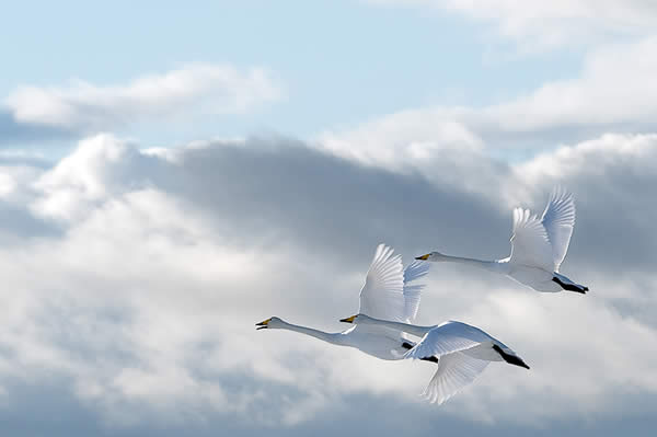 Swans in the Sky