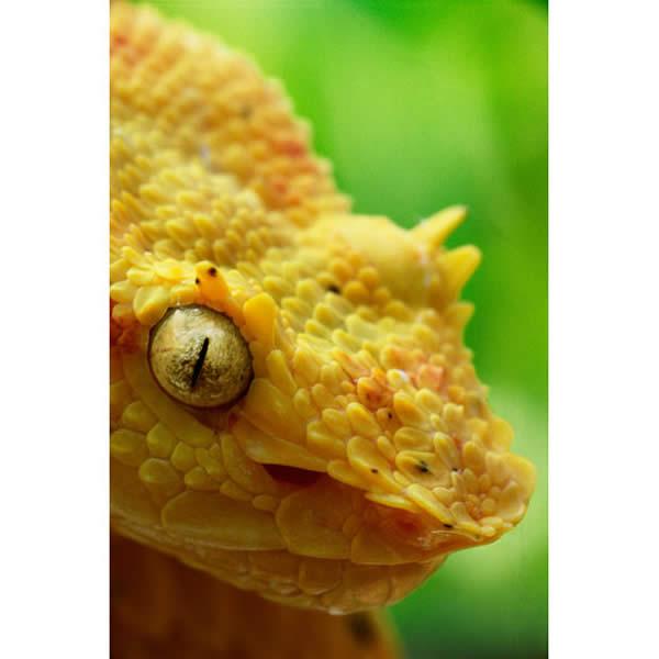 The Eyelash Viper