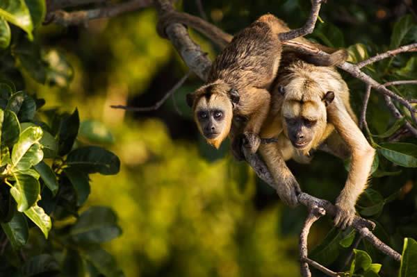 Black and Gold Howler Monkeys