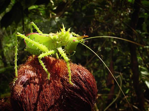 Armored Grasshopper