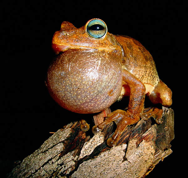 The Tree Frog's Trill
