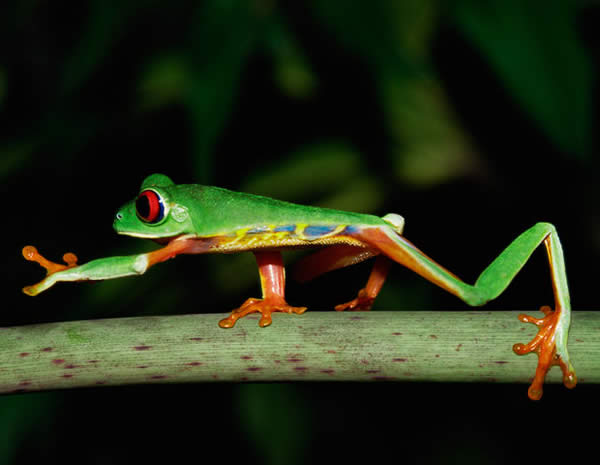Red Eye Tree Frog Walking