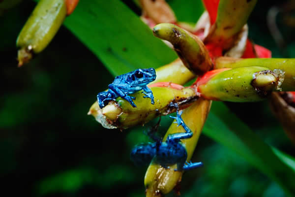 The Blue Arboreal Poison Dart Frog