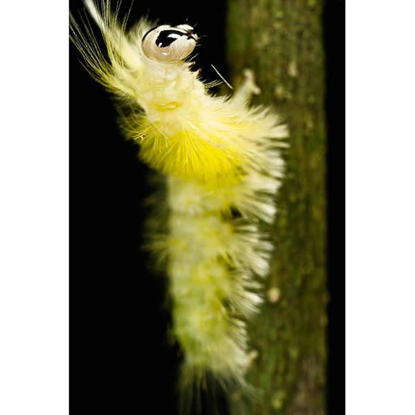 Unidentified Species of Caterpillar