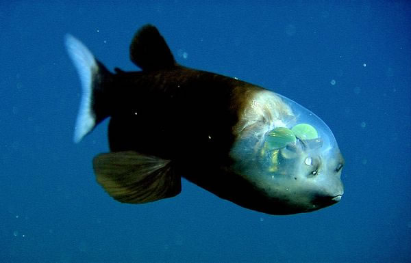 Transparent-Headed Fish