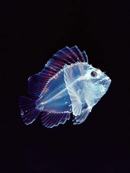 Larval Leaf Scorpionfish
