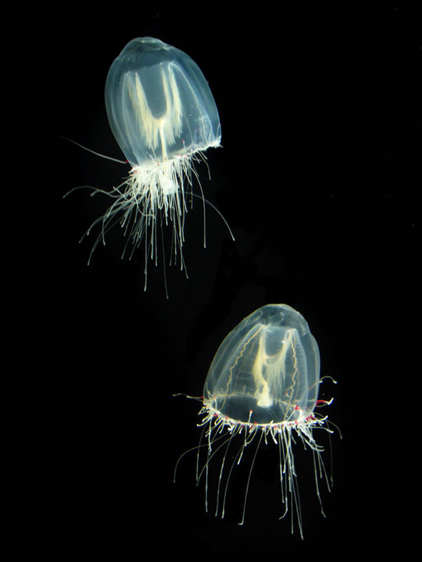 Transparent Jellyfish Couple