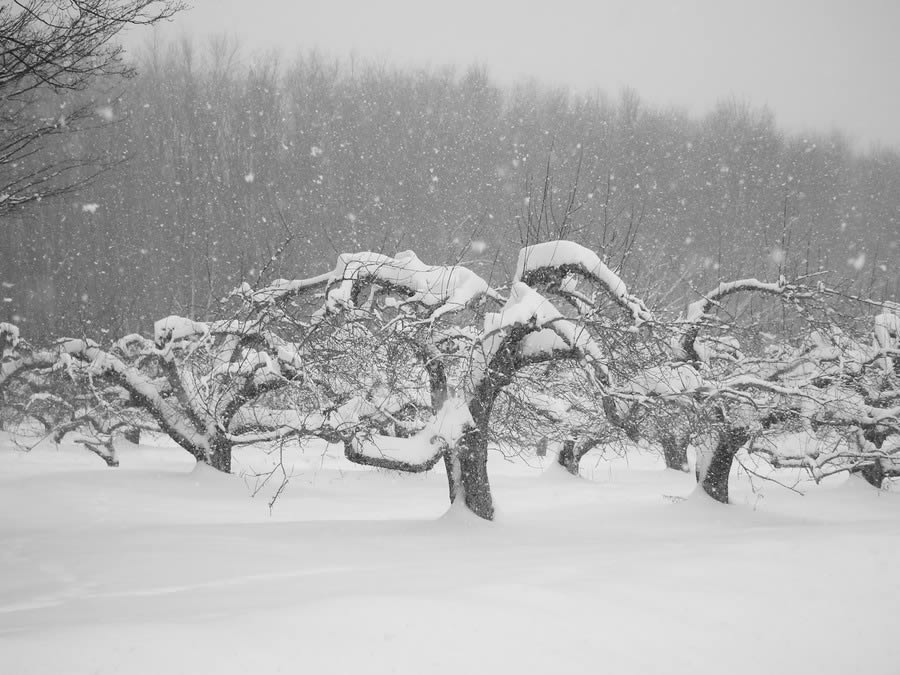 Apples Orchard In Snow