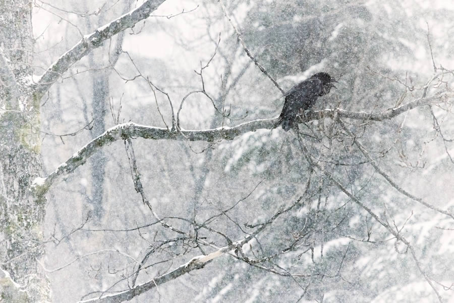 Raven in Snow Storm