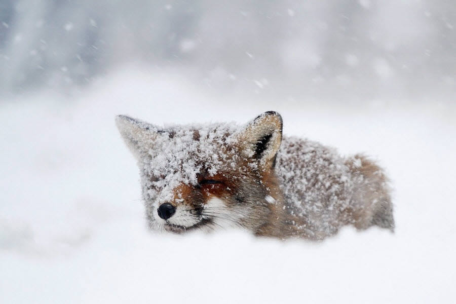 Frozen Fox