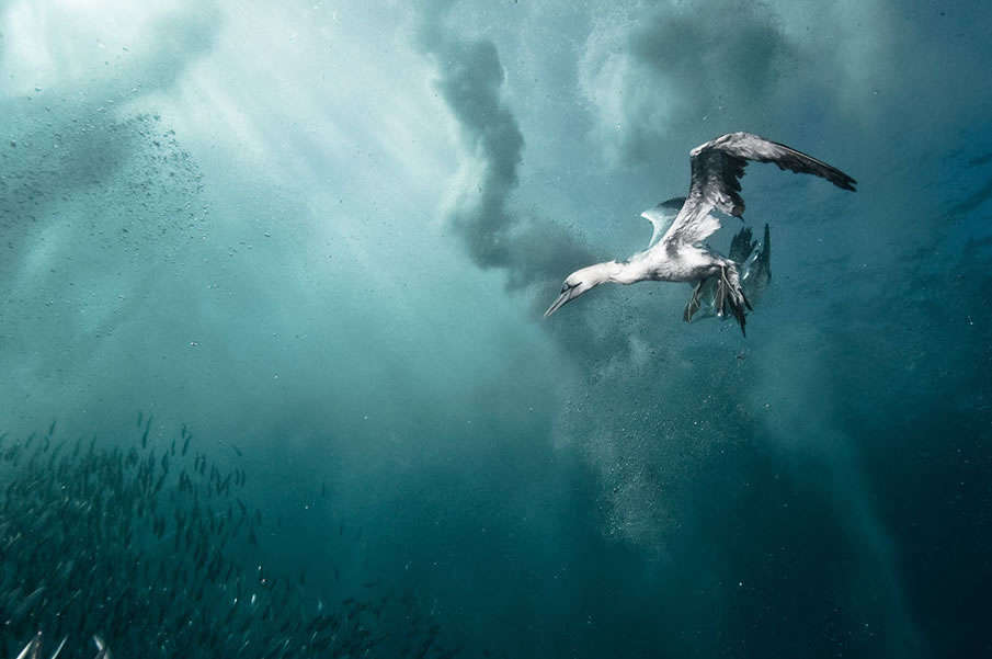 Plunge Diver