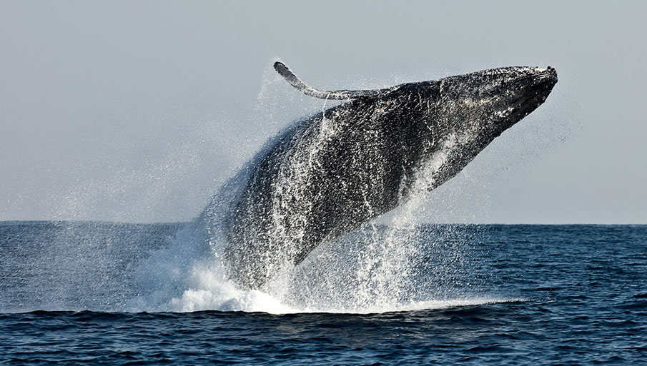 Flip of a Humpback Whale