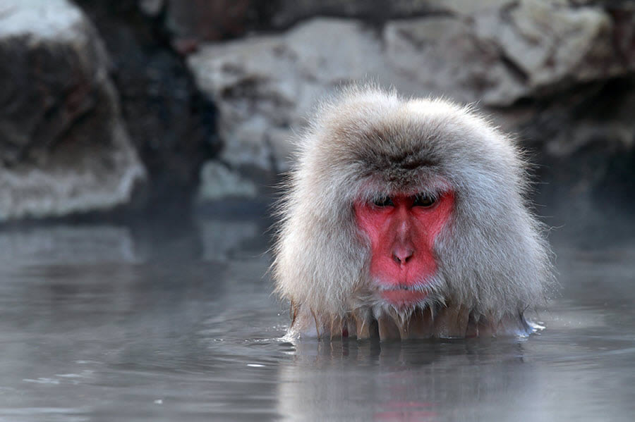 Snow Monkey Taking Bath in Hot Spring Water