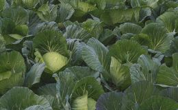 Cabbage Patch Picture