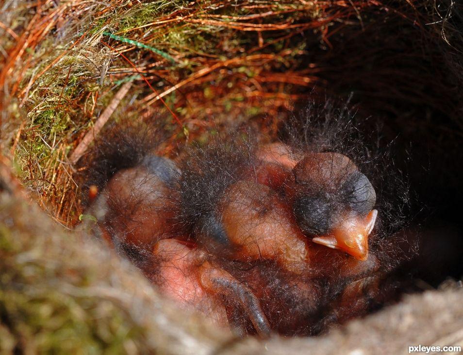 Newborn Blackbirds