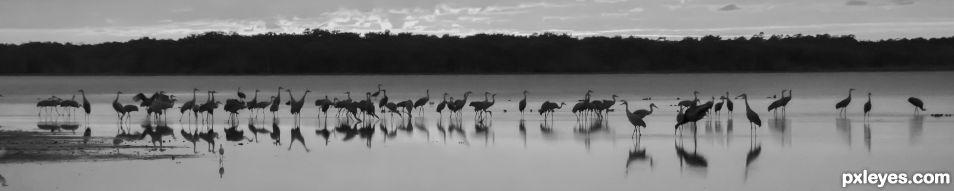 Roosting Sandhill Cranes