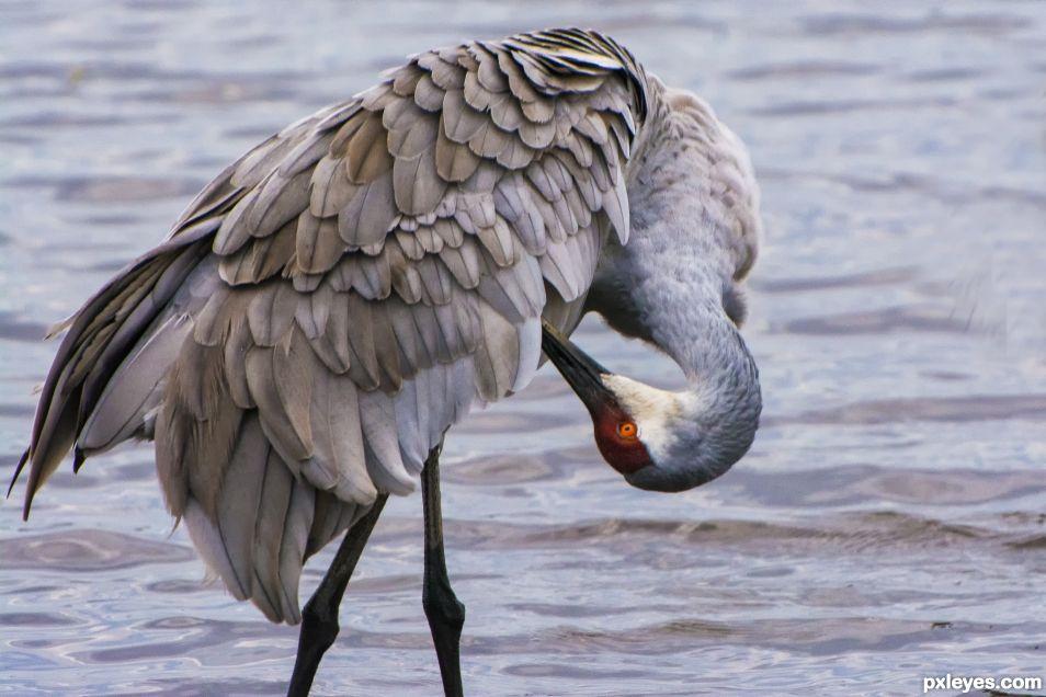 Preening sandhill crane